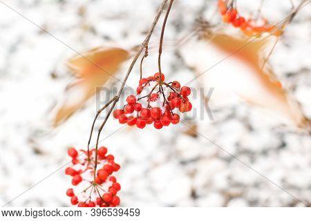 Viburnum Under Snow. Viburnum In The Snow. First Snow. Autumn And Snow.