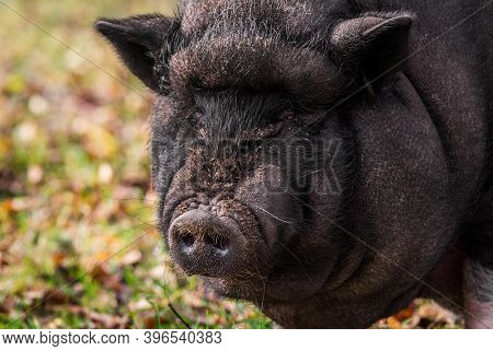 Big Vietnamese Black Pig Close Up Portrait Outside