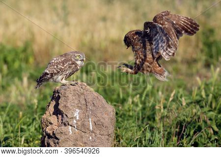 The Little Owl (athene Noctua) Older Owl Brings Food To Your Youth Sitting On The Stone. An Adult Ow