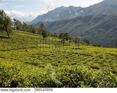 Manjoor Tea Gardens And Mountains Near Ooty,tamilnadu,india.