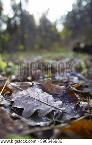 A Brown Oak Leaf With Water Droplets Lying On A Dark Green Plant In Autumn