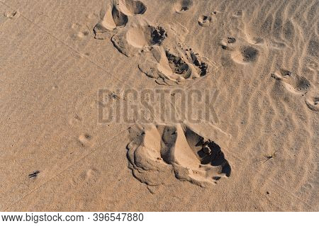 Close Up Of Moose Trail Left In Sand