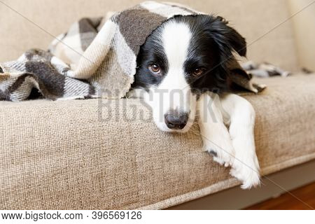 Funny Puppy Dog Border Collie Lying On Couch Under Plaid Indoors. Little Pet Dog At Home Keeping War