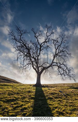 Leafless California White Oak silhouette with cloudy sky.