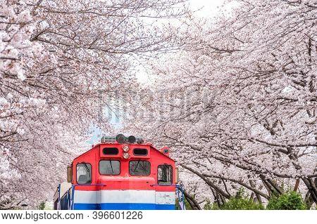 Busan Train Between Raw Of Cherry Blossom In Jinhae, Jinhae Gunhangje Festival In Korea, Gyeonghwa R