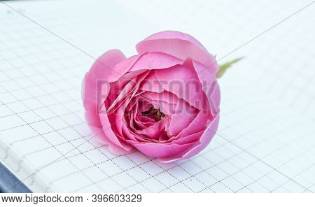 Close-up Of An Open Empty Notepad, A Book With Empty Pages, A Pink Rose Lying On Top. Romantic And G