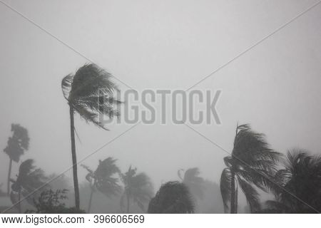Strong Wind Impact Coconut Tree Before Hurricane ,tornado, Typhoon, Cyclone Come