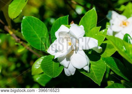 Cape Jasmine, Gardenia Jasminoides J. Ellis Rubiaceae Family