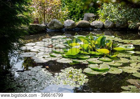 Bright Green Lilly Pads Cover The Surface Of A Pond.summer River With White Lilies.quiet Summer Rive
