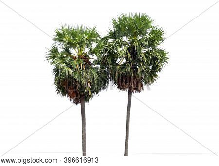 Borassus Flabellifer, Asian Palmyra Palm, Toddy Palm, Sugar Palm, Or Cambodian Palm, Tropical Tree I