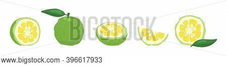 Green Yuzu Japanese Citron Fruit Vector Illustration Set Isolated On White Background. Full, Half An