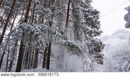 White Fluffy Snow Falls In The Forest. Festive Mood. Coniferous Trees Are Covered With Snow. Branche