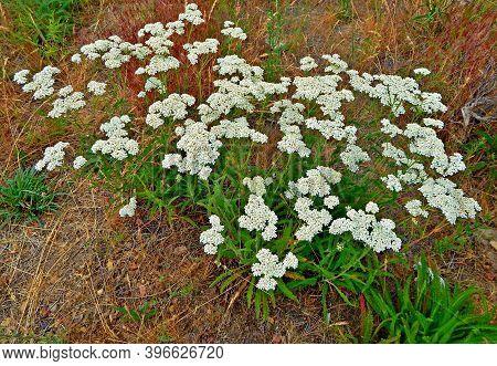 Desert White - A Wildflower Scene In Skull Hollow - Crooked River National Grassland - Or