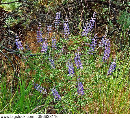 Dry Land Lupine - Purple lupine wildflower scene along Jasper Road - Crooked River National Grassland - east of Culver, OR