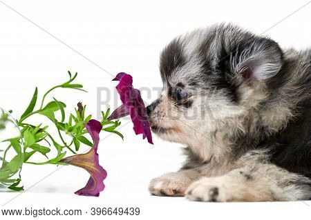 Pomeranian Spitz Puppy Isolated With Flower. Cute Gray Black And White Pomeranian Dog On White Backg