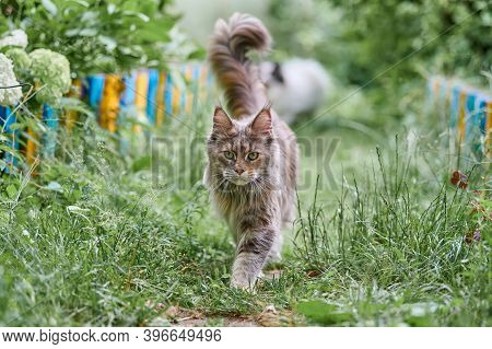 Maine Coon Cat In Garden. Adult Cute Cat Walk On Park Grass. Big Feline Breed For Home Love And Affe