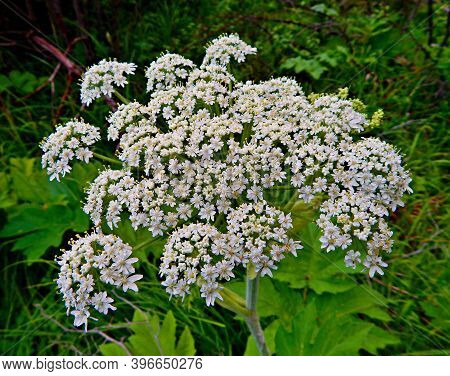 White Blossoms - Queen Anne\'s Lace wildflowers along Canyon Creek - near Camp Sherman, OR
