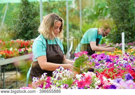 Concentrated Woman Working With Flowers In Pots In Greenhouse. Professional Gardeners In Aprons Cari