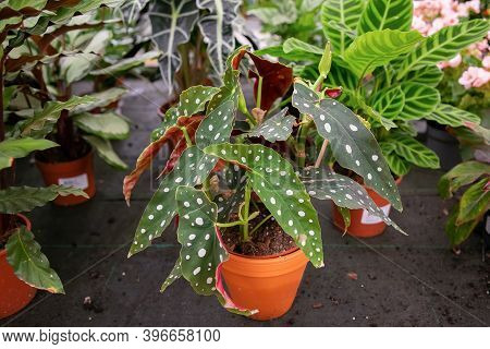 Begonia Maculata In Flowerpot In Greenhouse. Plant With Green Spotted Leaves In Pots. High Angle. Na