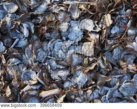 Fallen Leaves With White Frost, Abstract Natural Background. Frozen Foliage On The Ground. First Fro