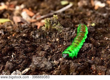 Worm Is The Large Caterpillar. Red Mopane Worms On Ground. Big And Long Worm Caterpillar Insect Larv