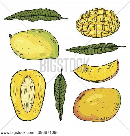 A Set Of Illustrations Of Mango Fruits In Different Types And Leaves Of The Mango Tree. Color Drawin