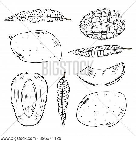 A Set Of Illustrations Of Mango Fruits In Different Types And Leaves Of The Mango Tree. Black Outlin