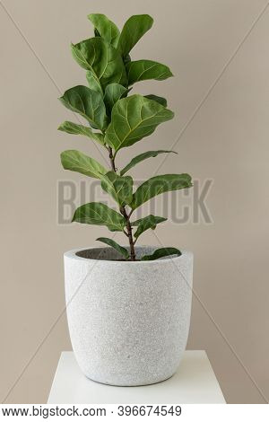 Fiddle-leaf fig plant in a white pot
