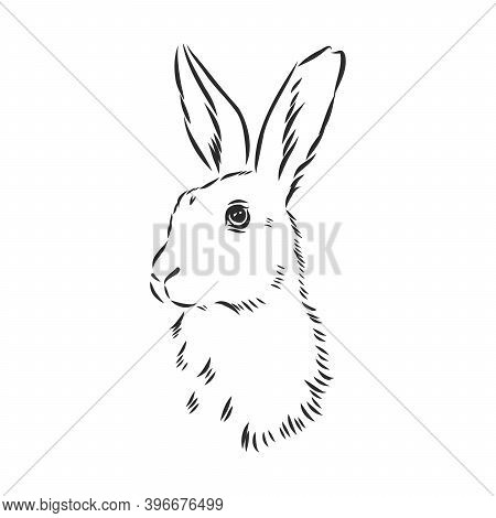 Vector Image Of Hare Silhouette, Hare Vector Sketch Illustration