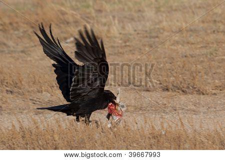 Raven Caught Some Animal