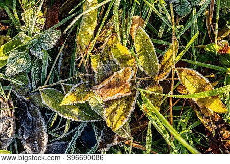 Detail Of Bright Leaves In Hoar Frost As Harmonic Autumn Mood Background