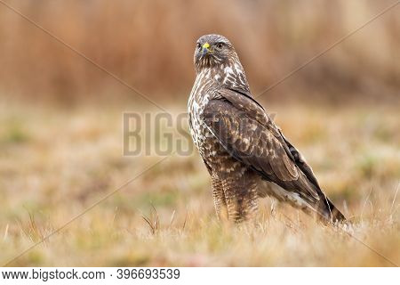 Fierce Common Buzzard Sitting The Ground In Autumn Nature
