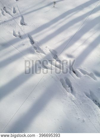 The Footprints Of The Beast On The White Snow In Winter.