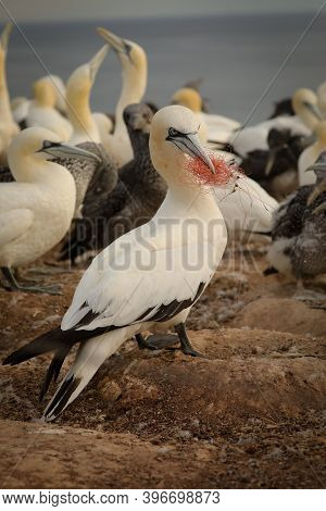 Life In A Colony Of Northern Gannet On A German Island. Quarrel In A Bird Colony. Photo From Wild Na