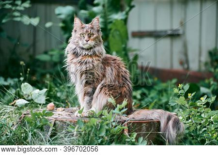 Maine Coon Cat In Garden Plot. Adult Cute Cat Walk On Park Grass. Big Feline Breed For Home Love And