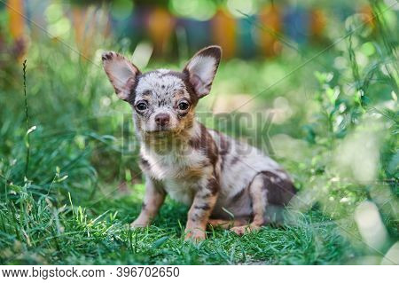 Chihuahua Puppy, Little Dog In Garden. Cute Small Doggy On Grass. Short Haired Chihuahua Breed.