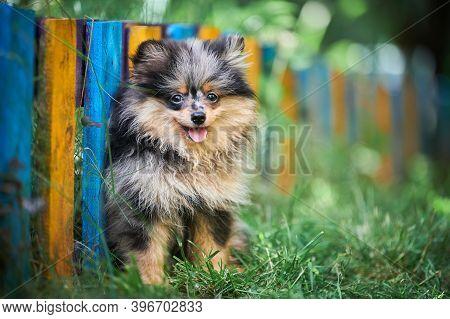 Pomeranian Spitz Puppy In Garden. Cute Pomeranian Dog On Walk. Puppy Black, Gray And Brown Color. Fa