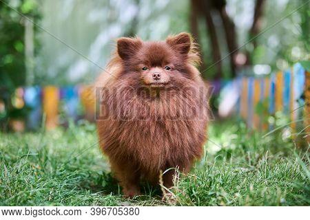 Pomeranian Spitz Dog In Garden. Cute Brown Pomeranian Puppy On Walk. Family Friendly Funny Spitz Pom