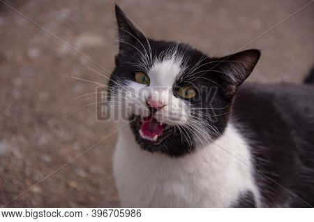 A Cat With Black And White Fur Meows