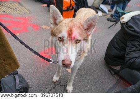 London, Uk - October 18, 2019: A Dog With Red Paint On Its Head At An Extinction Rebellion Protest I