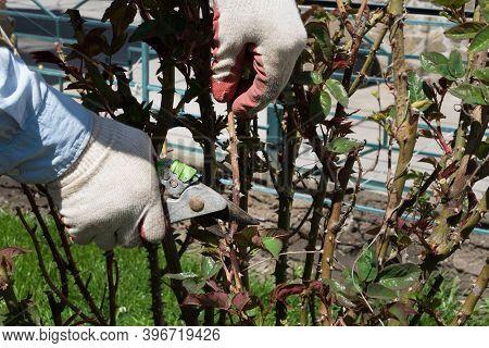 Hands In Gardener's Gloves Cut Secateurs Rose Stalk On A Bush, Agriculture, Taking Care About Garden