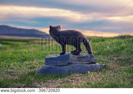 Beautiful Wild Animal In The Grass. Arctic Fox Cub, Vulpes Lagopus, Cute Animal In The Nature Habita
