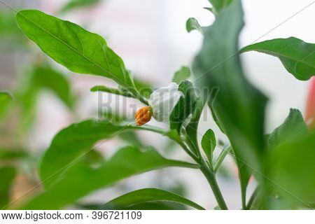 Solanum Flower Close Up White Nightshade Flowers
