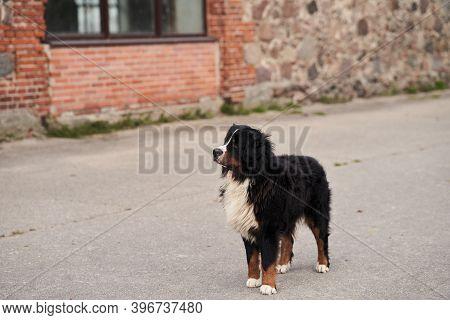 Newfoundland Dog Stands On The Asphalt. Rescue Dog