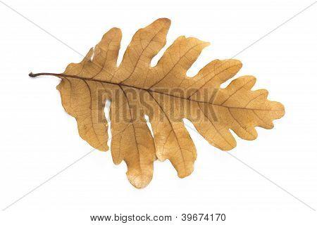 Leave of oak