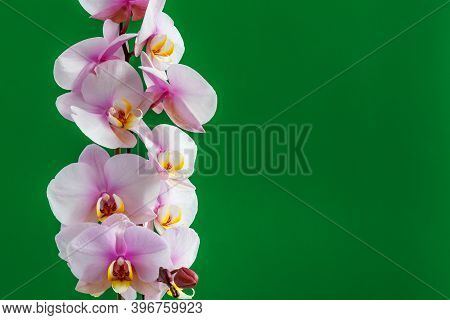 Beautiful Tropical Orchid Flowers. Purple Wanda Orchids At The Orchid Farm. Isolated On A Green Back
