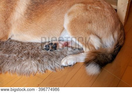 A St. Bernard Husky Cross Has A Painful Hot Spot On Their Back Paw, And Has Licked It Until It's Red