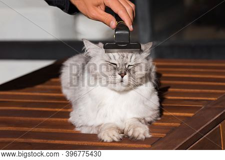 Man Combing His Lovely Grey Cat With Furminatoror Grooming Tool. Pet Care, Grooming. Cat Loves Being