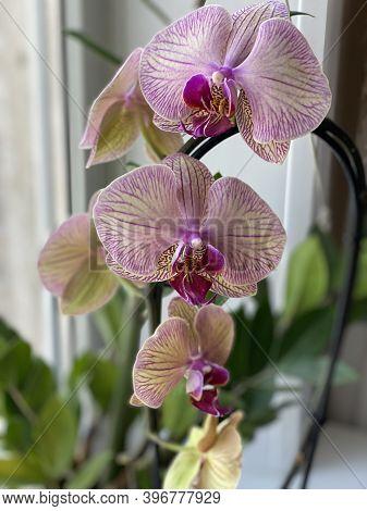 Purple Flowers In The Pot On Windowsill