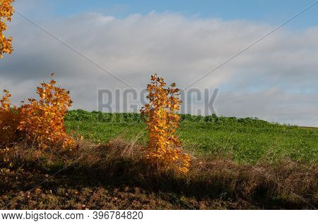 Seedlings Of A Maple Tree In Autumn Leaf Colors Growing Between Fields